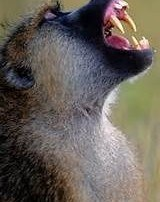 baboons and British civil servants